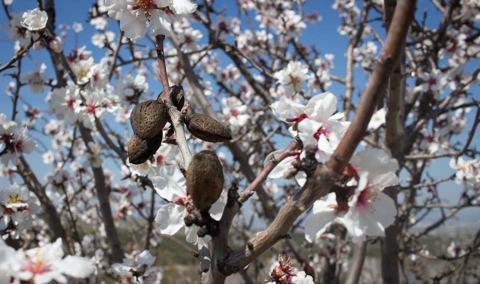 Mandelbaum Blüte Spanien